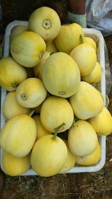 山东省潍坊市青州市星甜21甜瓜 0.5斤以上