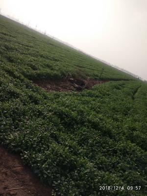 河南省焦作市温县铁杆青香菜 35cm以上