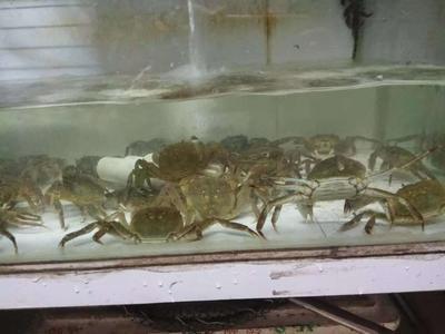 广西壮族自治区防城港市防城区生态大闸蟹 2.0两 母蟹