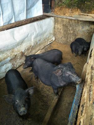 广西壮族自治区桂林市临桂县巴马香猪 40-60斤