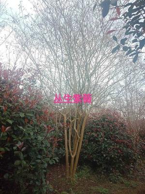 湖南省益阳市资阳区丛生紫薇