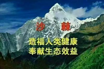甘肃省定西市漳县沙棘  30起步沙棘苗