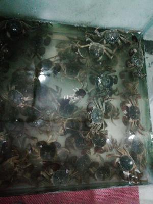 湖北省咸宁市崇阳县自养品种  母蟹 3.5公-2.8母
