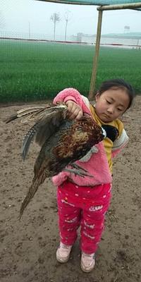河南省周口市太康县七彩山鸡 2-3斤