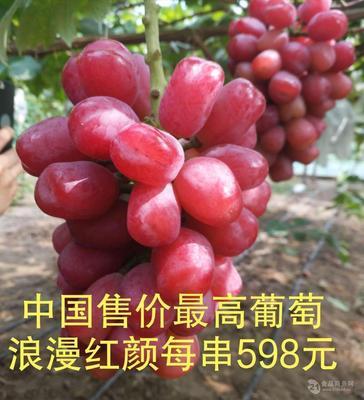 山东省临沂市平邑县浪漫红颜葡萄苗