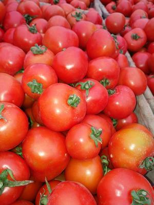 广西壮族自治区百色市田阳县大红西红柿 通货 大红 弧二以上