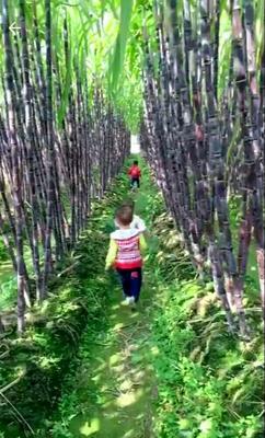 广西壮族自治区南宁市上林县黑皮甘蔗 2 - 2.5m 4 - 5cm