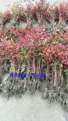 这是一张关于南天竹 的产品图片