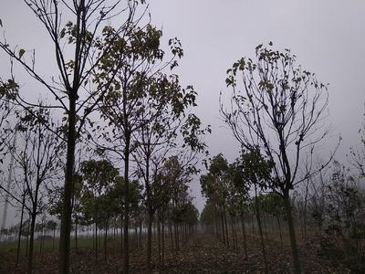 安徽省阜阳市太和县楸树