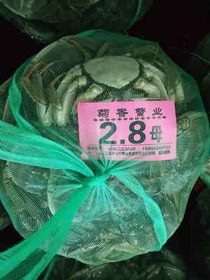 江苏省泰州市兴化市阳澄湖大闸蟹 2.5-3.0两 母蟹