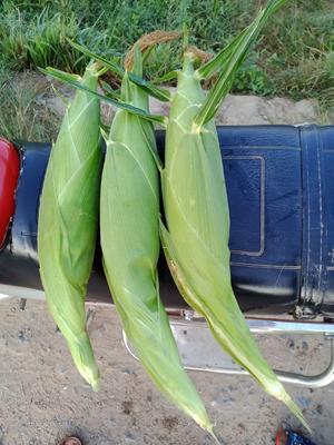 湖南省永州市江永县太阳3号玉米 甜 带壳