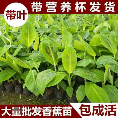 广西壮族自治区钦州市灵山县粉蕉苗 (带杯发货)