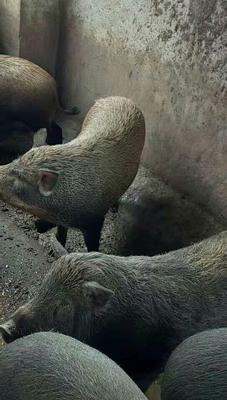 贵州省遵义市桐梓县生态野猪 140斤以上 统货