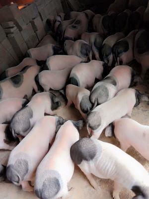 河南省南阳市卧龙区巴马香猪 40-60斤