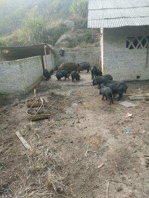 湖南省郴州市资兴市野香猪 40-60斤