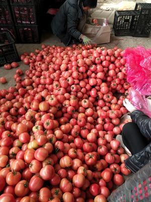 山东省潍坊市青州市硬粉番茄 通货 硬粉 弧三以上