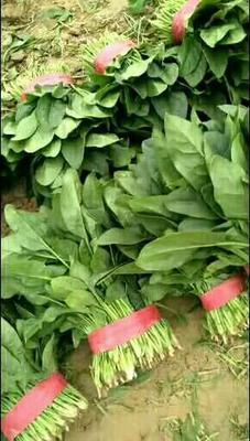 山东省滨州市惠民县名门菠菜 20~25cm