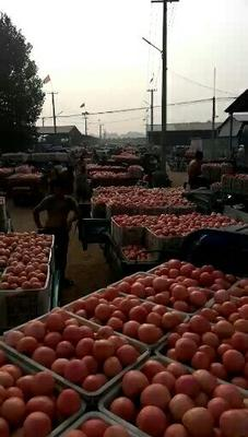 山东省聊城市东昌府区硬粉番茄 通货 硬粉 弧二以上