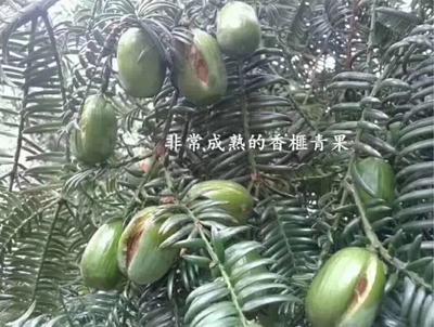 浙江省杭州市余杭区香榧 6-12个月 散装
