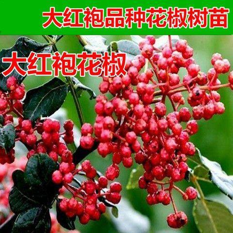 大红袍花椒苗 品种齐全