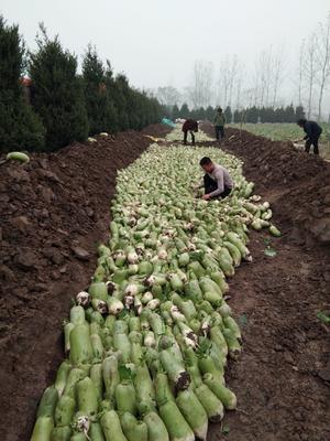河南省周口市商水县秋菠菜 15~20cm
