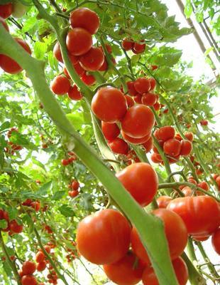 广西壮族自治区贺州市富川瑶族自治县硬粉番茄 通货 弧二以上 硬粉