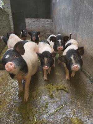 贵州省黔西南布依族苗族自治州晴隆县巴马香猪 40-60斤
