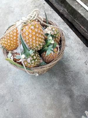 广东省揭阳市惠来县无眼菠萝 2 - 2.5斤