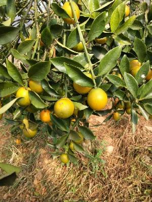 广西壮族自治区柳州市融安县脆蜜金桔 3-4cm 1-1.5两