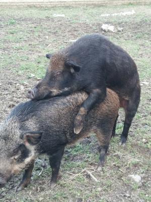 贵州省黔南布依族苗族自治州福泉市生态野猪 80斤以上 统货