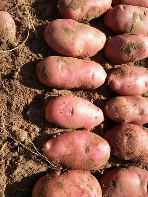 河北省承德市围场满族蒙古族自治县荷兰14土豆 3两以上