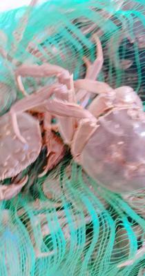 山东省济宁市任城区微山湖大闸蟹 2.0两以下 母蟹