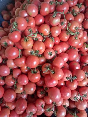 山东省临沂市平邑县粉果番茄 通货 硬粉 弧二以上