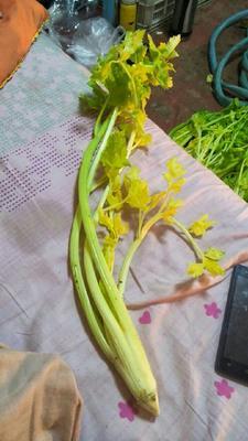 山东省青岛市平度市马家沟芹菜 45~50cm 露天种植 0.5斤以下