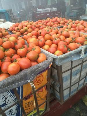 山东省聊城市莘县大红西红柿 通货 大红 弧三以上