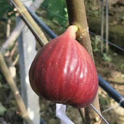 浙江省绍兴市诸暨市波姬红无花果  50-60克 三年生的无花果树出售