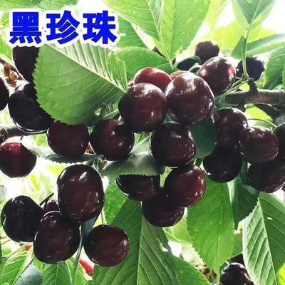 这是一张关于黑珍珠苗的产品图片