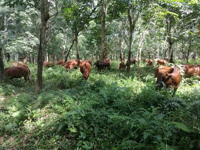 海南省儋州市儋州市黄牛 400-600斤 公牛