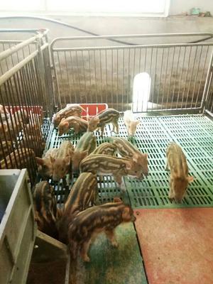 湖南省郴州市汝城县特种野猪 60斤以上 统货