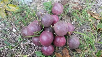广西壮族自治区梧州市岑溪市紫红色百香果 50 - 60克