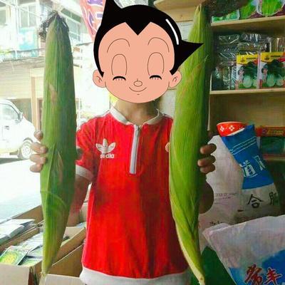 河北省邯郸市临漳县玉米种子 常规种 ≥98% ≥99% ≥95% ≤13%
