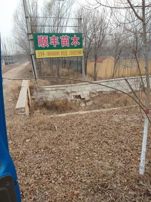 山东省滨州市惠民县速生白蜡 3~3.5米