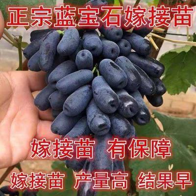 山东省临沂市平邑县蓝宝石葡萄苗