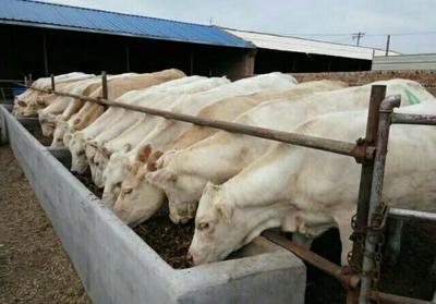 山西省忻州市忻府区夏洛莱牛 400-600斤 公牛