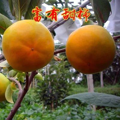 山东省临沂市平邑县富有柿子苗