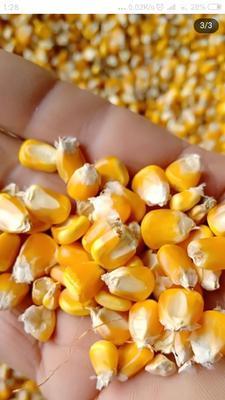 湖北省襄阳市宜城市玉米干粮 杂质很少 水份14%-16%