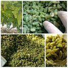 新疆维吾尔自治区哈密地区哈密市无核白葡萄干 优等