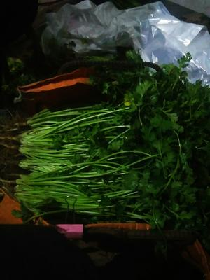 山东省滨州市阳信县大叶香菜 35cm以上