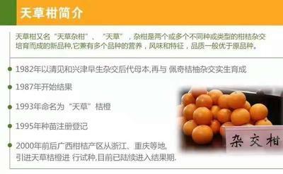 广西壮族自治区柳州市融水苗族自治县天草柑 3.5 - 4cm 3两以上