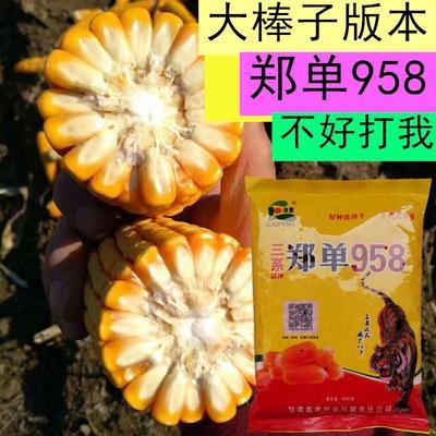 河北省邯郸市临漳县玉米种子 自交系 ≥99% ≥99.9% ≥97% ≤13%